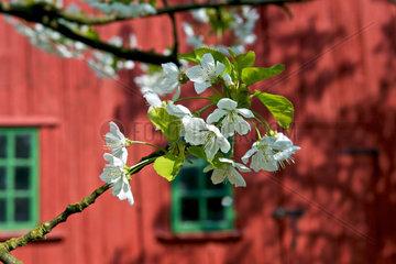 Kirschbluete im Alten Land