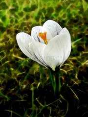 crokus Krocus versicolor