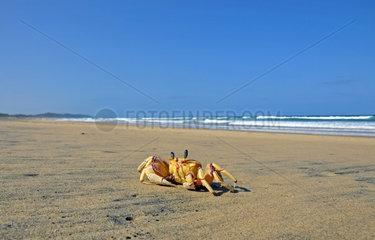 Geisterkrabbe am Strand  Suedafrika