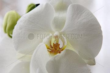 Neuenhagen  Deutschland  weisse Orchideenbluete