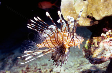 Indischer Ozean  Malediven: Strahlenfeuerfisch