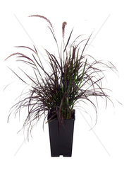 Afrikanisches Lampenputzergras  Afrikanisches Lampenputzer-Gras  Pennisetum setaceum  fountain grass  crimson fountaingrass