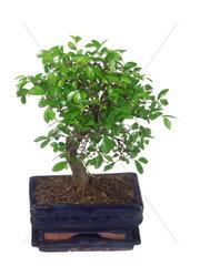 Ulmus parvifolia  Ulmus chinensis  Ulmus parvifolia  Ulmus chinensis  lacebark elm  Chinese elm