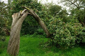Umgestuerzter voller Apfelbaum