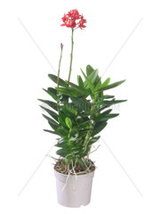 Epidendrum  Epidendrum ibaguense  Epidendrum ibaguense  Epidendrum radicans  Epidendrum ibaguense