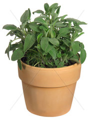 Echter Salbei  Gewoehnlicher Salbei  Salvia officinalis  common sage  kitchen sage