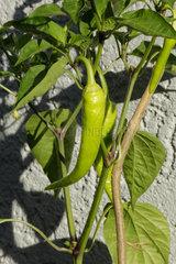 Peperoni (Capsicum annuum) auf einer Terasse