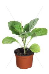Aubergine  Eierfrucht  Solanum melongena  egg-plant  eggplant
