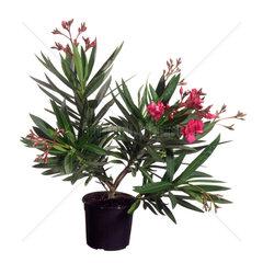 Oleander  Nerium oleander  oleander