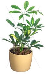 Strahlenaralie  Strahlen-Aralie  Fingeraralie  Finger-Aralie  Schefflera arboricola  dwarf schefflera