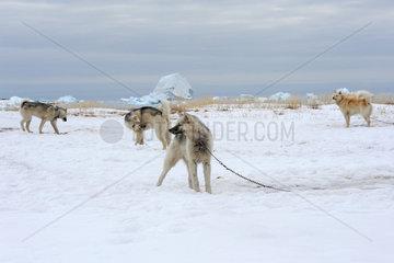 Ilulissat  Daenemark  Huskies stehen angekettet im Schnee