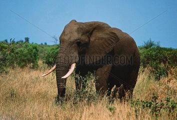 Afrikanischer Elefant im Krueger National Park  Suedafrika