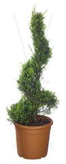 Zypressen-Spirale  Cupressus spec.  cypress spiral
