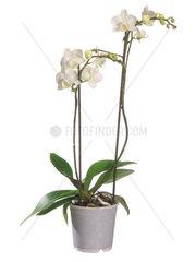 Malaienblume  Malayenblume  Phalaenopsis-Orchidee  Phalaenopsis Hybride  moth orchid