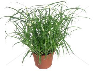 Zypergras  Zyperngras  Cyperus spec.  galingale