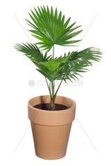 Australische Faecherpalme  Livistonia australis  Australien fan palm