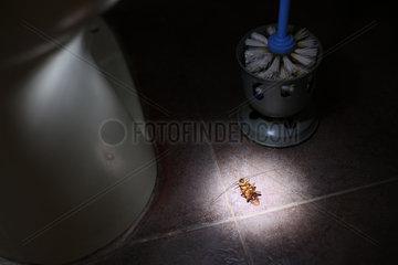 Tote Kakerlake