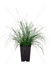 Lampenputzergras  Pennisetum spec.  fountain grass  fountaingrass