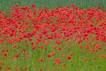 Brandenburg  Mohnblumen auf einem Feld