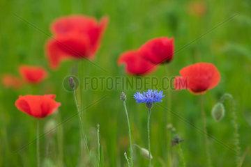 Brandenburg  Mohnblume auf einem Feld