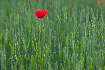 Brandenburg  eine Mohnblume auf einem Kornfeld