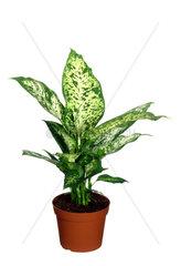Dieffenbachie  Dieffenbachia-Hybride  dumbcane