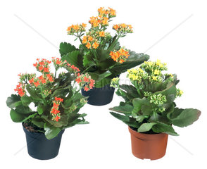 Flammendes Kaethchen  Flammendes Kaetchen  Kalanchoe blossfeldiana  brilliant star  flaming katy  Madagascar widow's thrill