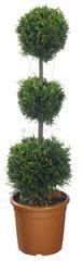 Zypresse  Cupressus spec.  cypress