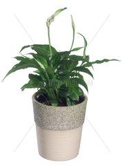 Einblatt  Blattfahne  Scheidenblatt  Spathiphyllum  Spathiphyllum wallisii  Spathiphyllum