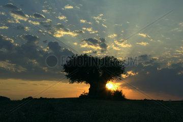 Sonnenuntergang beim Rasierpinselbaum