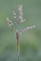 Wolliges Honiggras (Holcus lanatus)