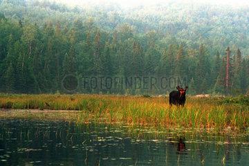 Kanada  Elch an einem See im im Algonquin Nationalpark in Ontario