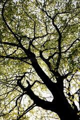 Bl__tterdach eines Ahornbaumes