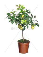 Zitrone  Citrus limon  lemon