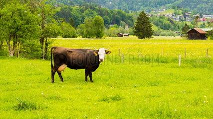 Milchkuh auf einer Weide
