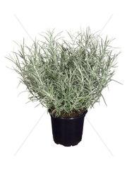 Currykraut  Curry-Kraut  Zwerg-Currykraut  Zwerg-Curry-Kraut  Strohblume  Helichrysum italicum ssp. serotinum  curry plant