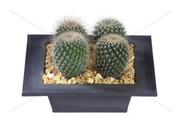 Warzenkaktus (Mammilaria spec.)  Mammillaria spec.  Mammillaria  Cactus