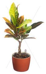 Wunderstrauch  Kroton  Croton  Codiaeum variegatum  Croton