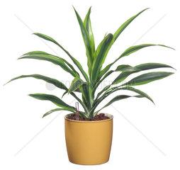 Duftende Dracaene  Duftende Drazaeene  Dracaena fragrans  corn plant