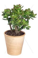Dickblatt  Geldbaum  Fette Henne  Crassula ovata  Crassula argentea  Crassula obliqua  Crassula portulacea  jade plant  jade tree  dollar plant