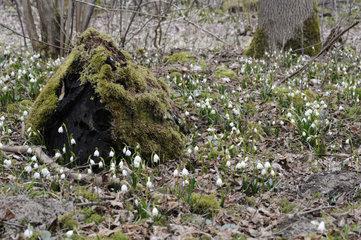 Maerzenbecher  Spring Snowflake  Kreis Guenzburg  Bayern  Deutschland