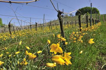 Wild-Tulpe  Weinberg-Tulpe  Tulipa sylvestris  Wild tulip  Landkreis Kitzingen  Bayern  Deutschland