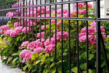 Hortensien hinter schmiedeisernem Vorgartengitter