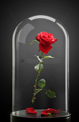 Rote Rose unter der Glasglocke