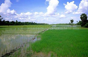 Ein Reisfeld in Kambodscha