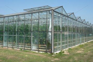 Tomatenanbau bei Utrecht