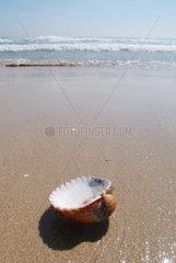 Spanien  eine Muschel am Strand von Cadiz