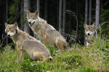 Group of three young wolves in a forest  small pack of wolves