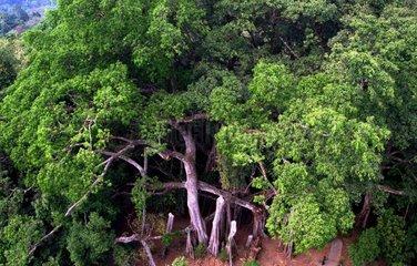 CHINA-YUNNAN-BANYAN TREE (CN)