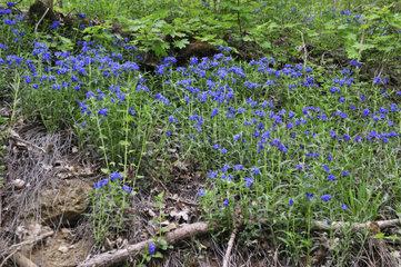 Blauroter Steinsame  Buglossoides purpurocaerulea  Purple Gromwell  Landkreis Schwaebisch Hall  Baden-Wuerttemberg  Deutschland